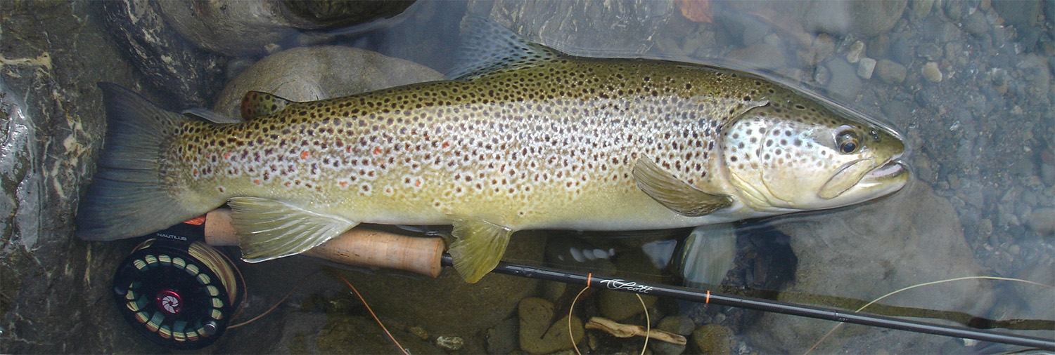 Brown trout lying on gravel and rocks in shallows of river, with a Scott Radian fly fishing rod