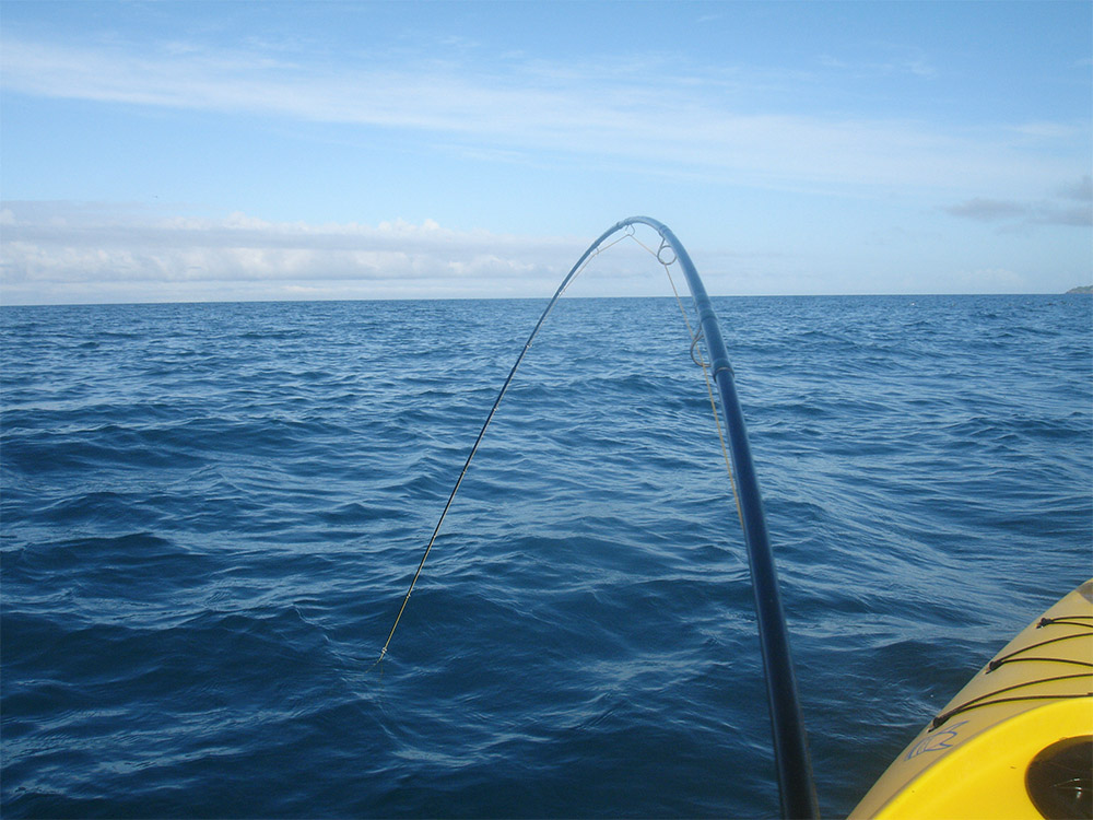 5wt BVK TFO fly fishing rod bending with weight of fighting kahawai fish in sea, New Zealand