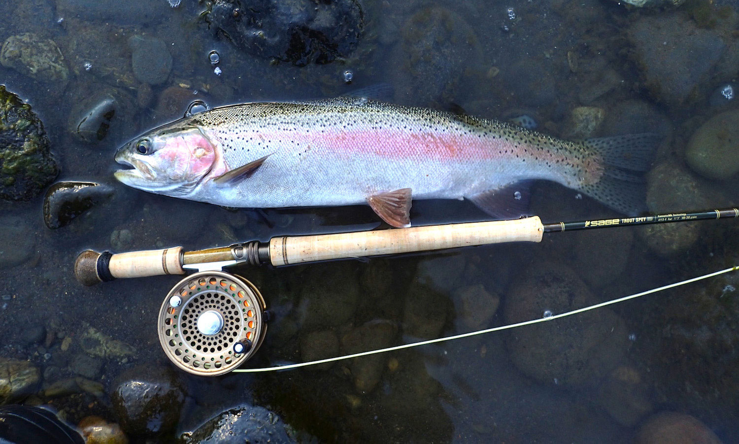 Rainbow trout hen from Tongariro River