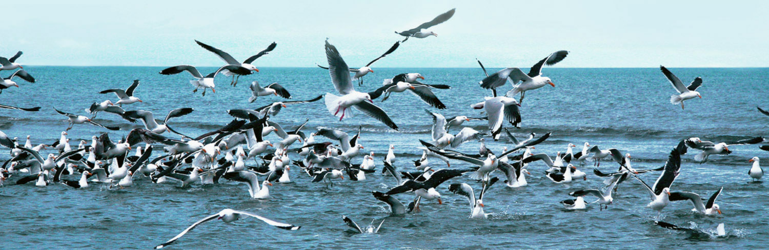 Seagulls and terns diving into the sea after anchovies and baitfish
