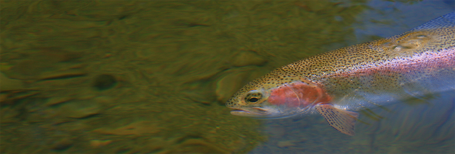 Trout underwater seen from above