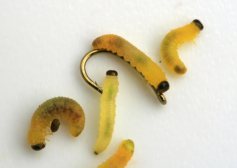 Several natural live willow grubs lying on a white backtround with a size 18 fish hook
